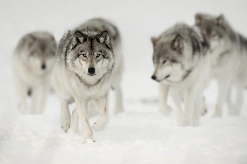 bialy-wilk