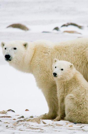dzień niedźwiedzi polarnych
