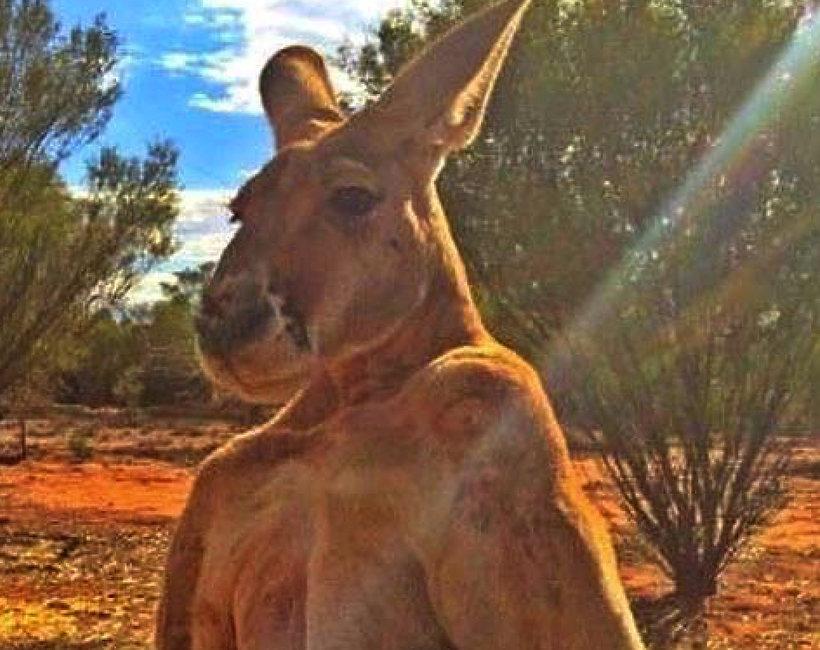 kangur Roger nie żyje