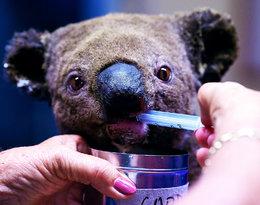 W Australii z powodu pożarów zginęło już prawie miliard zwierząt!