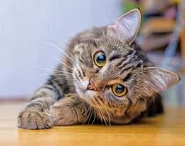 Koty mogą zarazić się koronawirusem. Dwa takie przypadki stwierdzono w Nowym Jorku