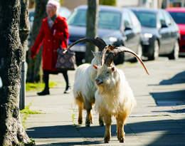 Gdy ludzie siedzą w domach, na ulice pustych miast ruszają... zwierzęta!