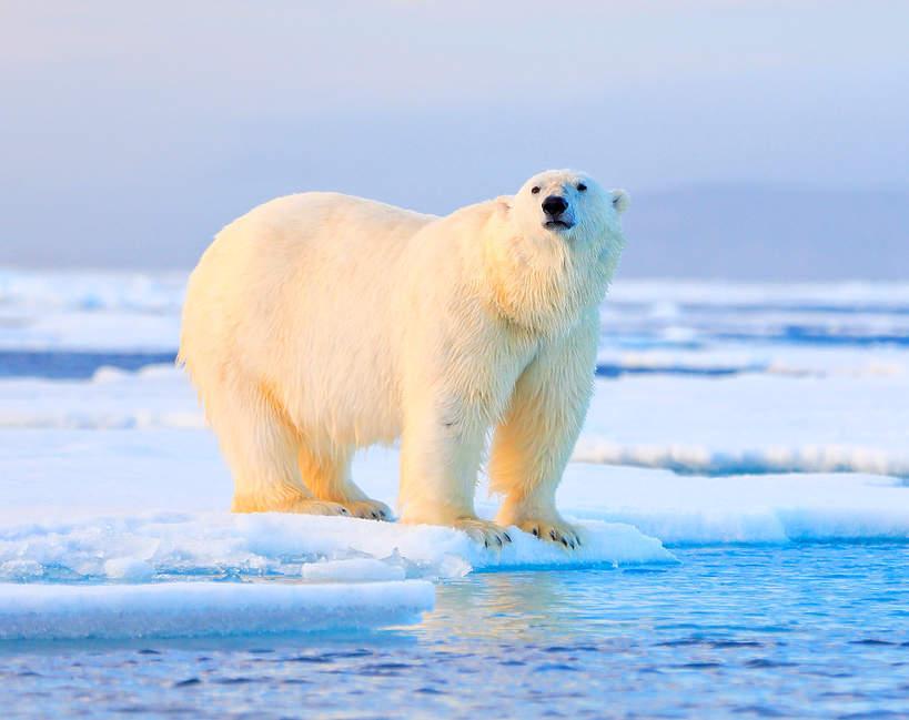 Niedźwiedź polarny, miś polarny