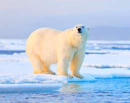 Tragedia na kempingu. Mężczyzna zabity przez niedźwiedzia polarnego na oczach swoich przyjaciół…