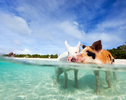 Pig Beach na Bahamach
