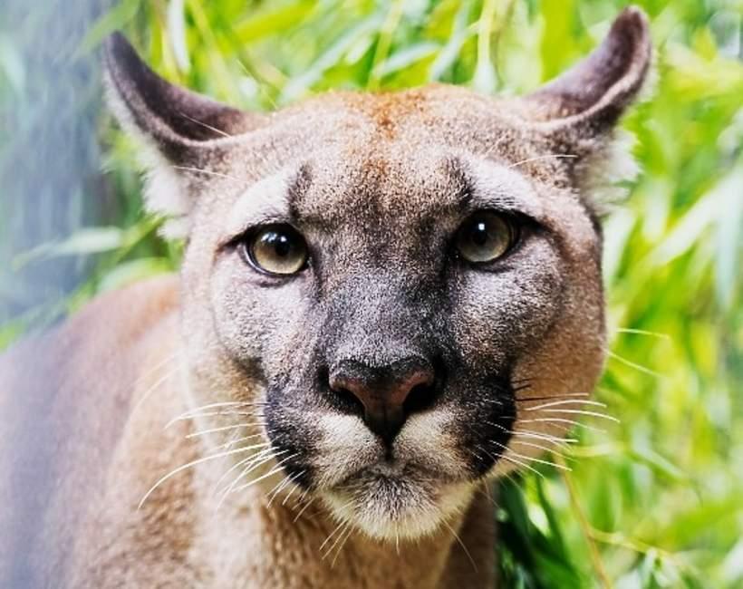 Puma Nubia