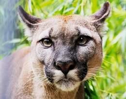 Puma Nubia tęskni za właścicielem? Dziwne zachowanie zwierzęcia w chorzowskim zoo...