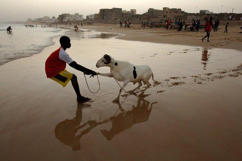 Senegal, kąpiel owiec w oceanie
