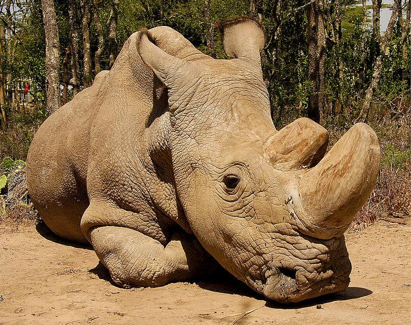 Sudan, ostatni biały nosorożec