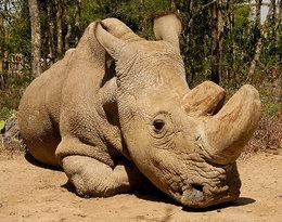 Nie żyje Sudan, ostatni biały nosorożecpółnocny na świecie