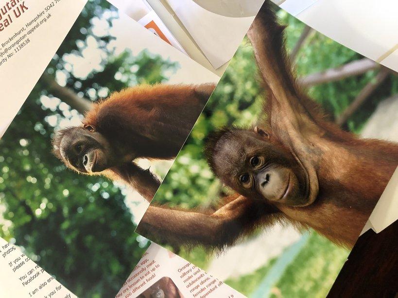 Tombly, orangutan adoptowany przez Michała Piróga