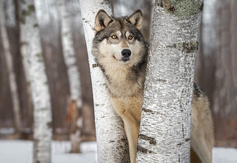 wilk-w-lesie
