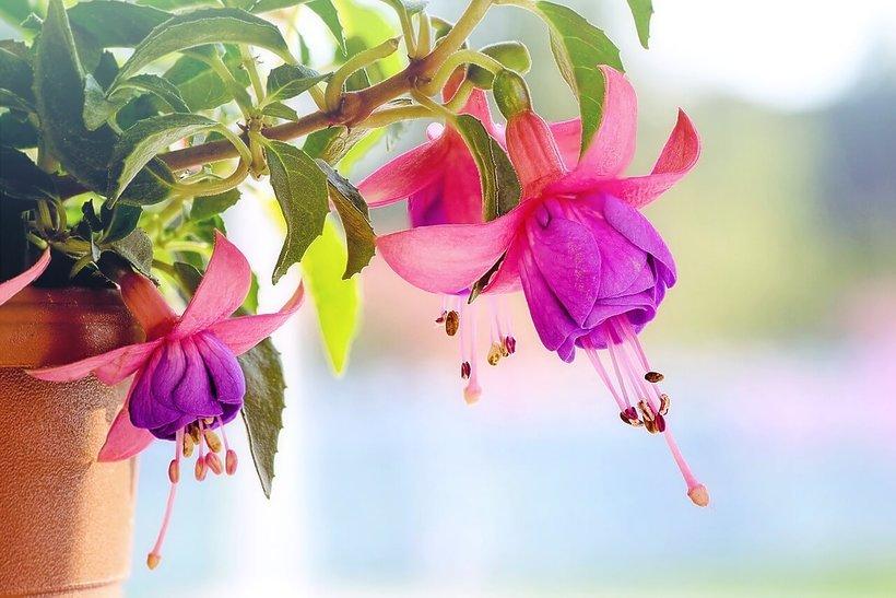 wnętrza, kwiaty na balkon, fuksja