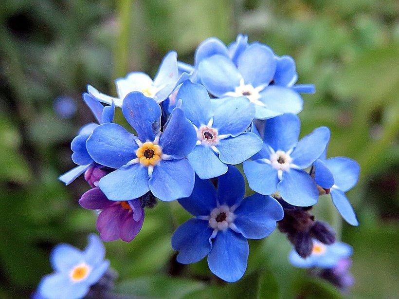 wnętrza, kwiaty na balkon, niezapominajki
