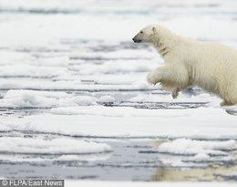 Szokujące wyniki badań dotyczące niedźwiedzi polarnych! Ich populacja jest zagrożona