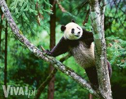 panda wielka na drzewie