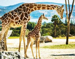 Ekolodzy biją na alarm: żyrafy są gatunkiem zagrożonym!