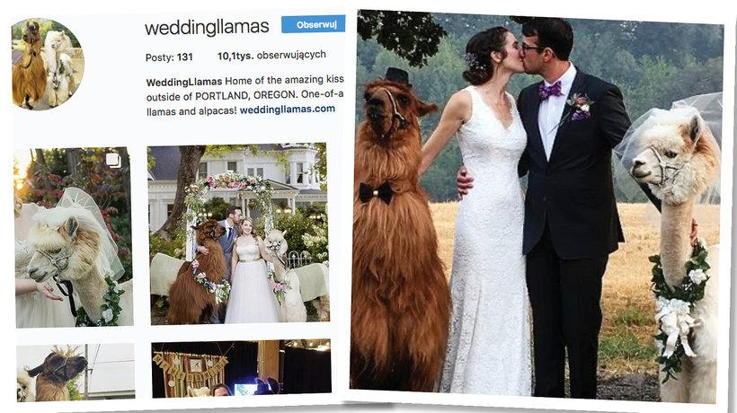 Lama na ślubie i weselu