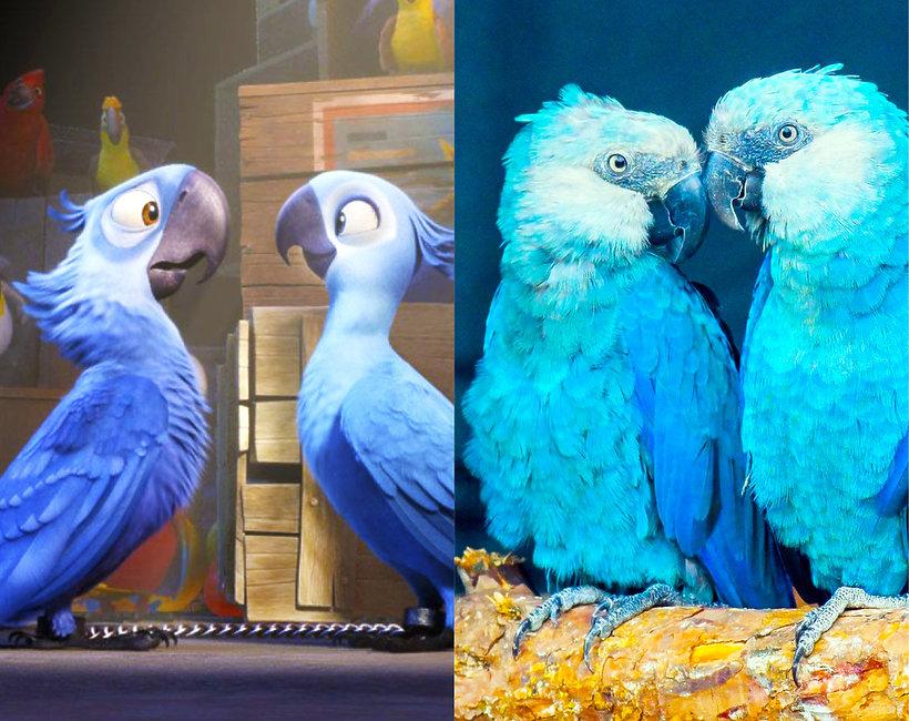 Papuga z filmu Rio, ara modra - czy grozi jej wyginięcie?