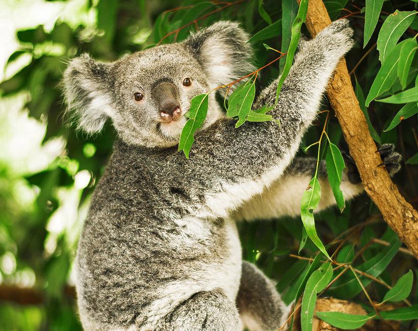Polskie gwiazdy adoptują koale