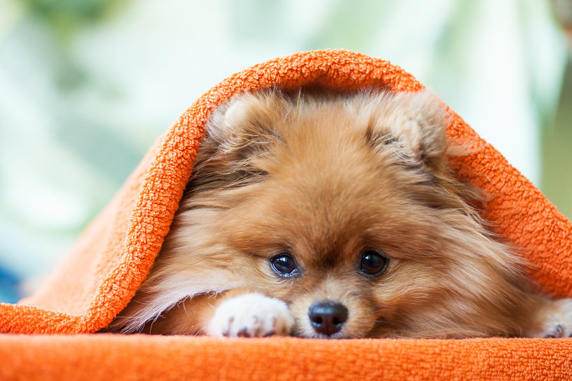 Pomeranian - rasa, którą pokochały gwiazdy