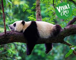 Pandy, tygrysy, goryle... Zobacz, które gatunki zwierząt są najbardziej zagrożone!