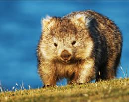Bohaterskie wombaty ratują zwierzęta z pożarów?